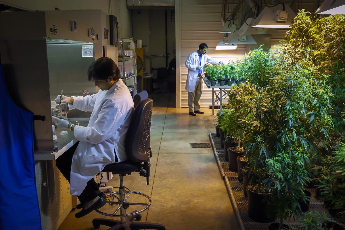 FILE — Hemant Lata, left, and Suman Chandra work at a federally-approved medical marijuana facility at the University of Mississippi in Oxford, April 4, 2014. For years, it has been the only place authorized to grow marijuana for use in medical studies — a supply bottleneck the Obama administration is planning to remove, officials said on Aug. 10, 2016. (Lance Murphey/The New York Times)