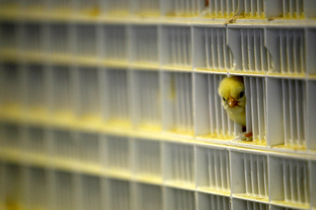 A day-old chick sticks its head out of a bin at the Wadi Hatcheries in Sadat City March 8, 2007. The Wadi Hatcheries hatches 400,000 chicks daily and is the largest hatchling factory in the Middle East.  Since bird flu appeared in Egypt, workers have started manually inoculating day-old chicks, born from disinfected eggs laid by vaccinated birds, after plant management determined that automated vaccination could miss some chicks. Picture taken March 8, 2007. To match feature BIRDFLU-EGYPT/   REUTERS/Tara Todras-Whitehill (EGYPT) - RTR1NEX0